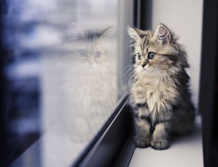 persian-kitten-and-reflection-by-window-478954365-590b5f025f9b5864709a9b41
